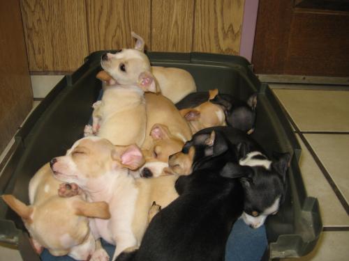 Box O' Chihuahua pups