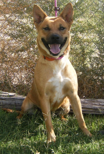 "German Shepherd mix-Female-1 year old-Tan/Black ""Sassy"""