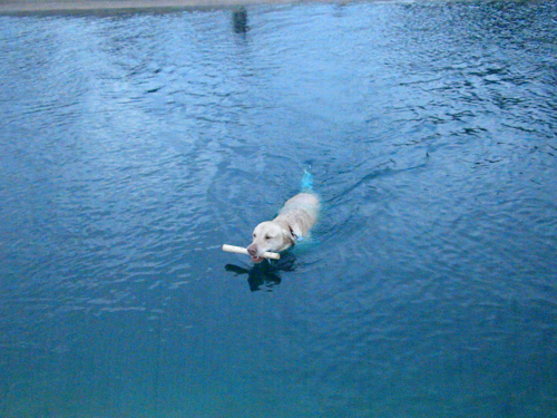 BUDDY SWIMMING IN HOUSTON DOG PARK